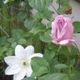 パープルのバラとクレマチス