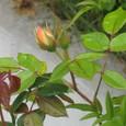 サーモンピンクのバラ