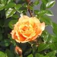 名不明のバラ