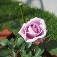 パープルのバラ