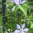 青のクレマチス